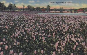 Water Hyacinths In Florida Curteiclh