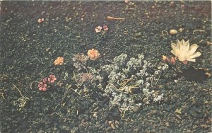 Craters of the Moon National Monument Idaho ID common flowers Postcard