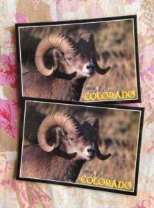 Bighorn Sheep Ram Postcards Set of Two, Rocky Mountain Wildlife, Colorado