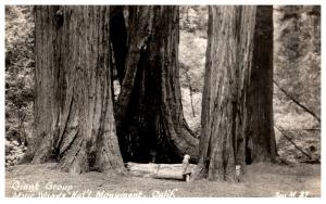 Giant Redwood . Muir Woods National Monument