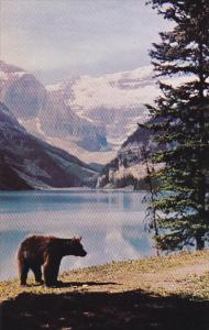 Black Bear Roamin At Lake Louise Banff National Park Canada
