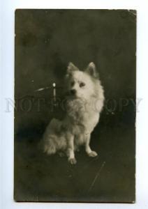 148060 White SPITZ Puppy Vintage PHOTO PC