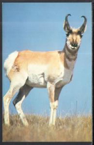 Prong Horned Antelope