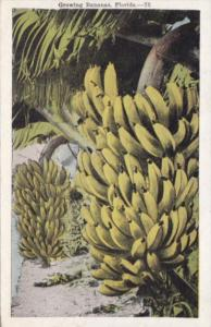 Florida Trees Growing Bananas