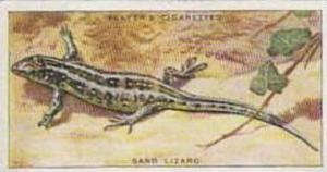 Player Vintage Cigarette Card Animals Of The Countryside No 39 Sand Lizard  1939