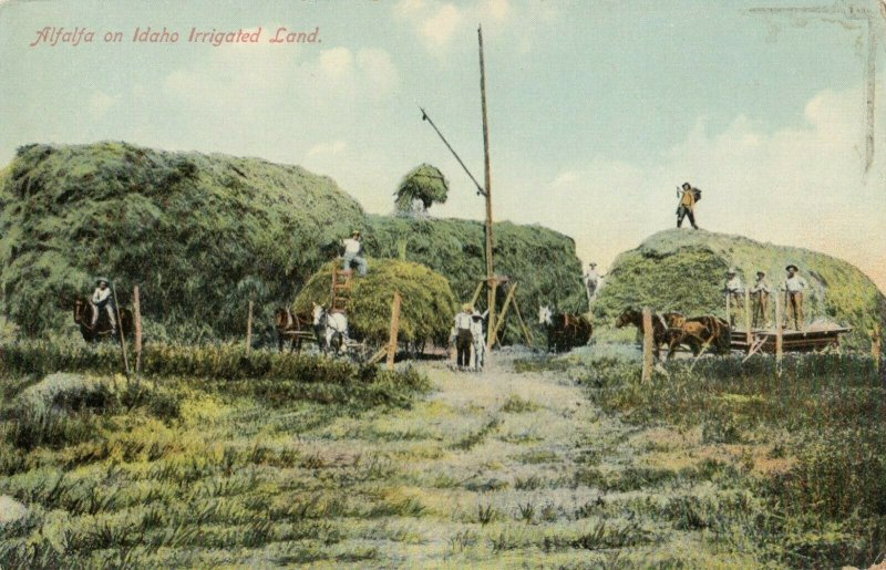 Alfalfa on irrigated land , Idaho , 1900-10s