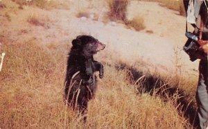 Bear Post Card Posing 1953