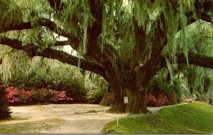 South Carolina Charleston Middleton Gardens The Famous Middleton Oak