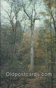 Yellow Poplar Tree - Hepsidam, Alabama AL