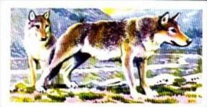 Brooke Bond Trade Card Asian Wildlife No 24 Wolf