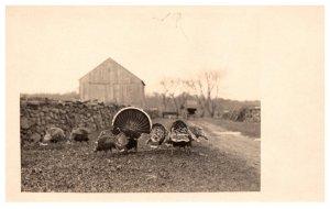 Rafter of Wild Turkeys feeding