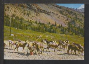 Bighorn Sheep,Canadian Rockies Postcard