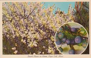 Massachusetts Cape Cod Beach Plums In Bloom