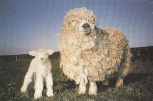 Greyface Dartmoor Ewe Lamb at Druffield Farm Yorkshire Postcard