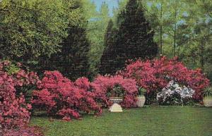 South Carolina Charleston Azales in Beautful Middleton Gardens