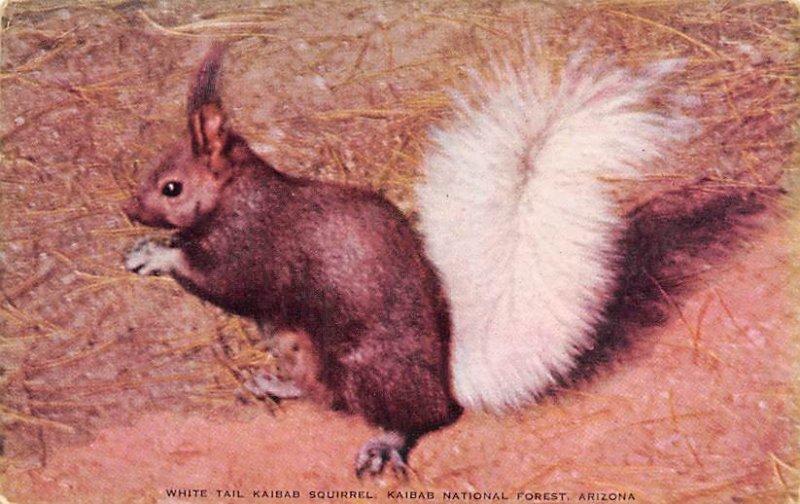 Squirrel/Chipmunks/Woodchucks Kaibab Squirrel Kaibab National Forest, Arizona...