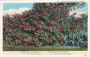 Florida Cocoa Poinsettia in Bloom 1933