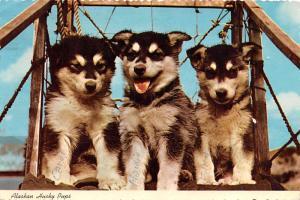 Alaskan Huskey Pups -