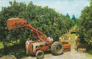 Florida Typical Citrus Harvest
