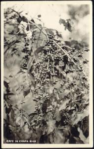 costa rica, Cafe Beans Growing (1940s) RPPC