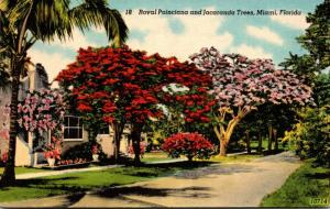 Florida Miami Royal Poinciana and Jacaranda Trees 1948
