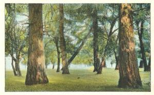 US Landscape, Woods, Trees, early 1900s unused Postcard