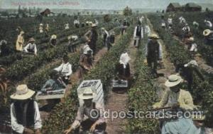 Picking Dewberries Farming, Farm, Farmer, Postcard Postcards in California US...