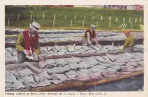 Curing Codfish At Perce, Quebec- Sechage De La Morne A Perce, Quebec, Canada,...