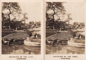 Buffaloes Of The Canal Cawnpore 2x Old Cigarette Card s