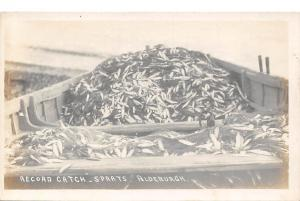 Record Catch - Sprats, Aldeburgh, fishes, fish, fishing