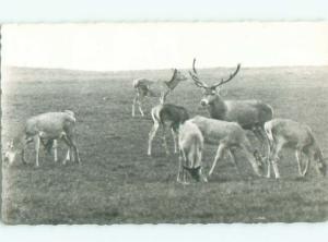 rppc 1958 Deer Herd OTTERLO NEAR ARNHEM IN GELDERLAND NETHERLANDS AC8129