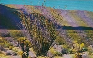 Ocotillo Cactus In Bloom