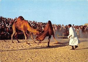 Sud Tunisien Combat de Chameaux, Camels Fight Tunisia