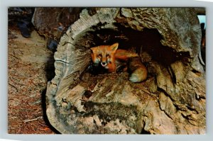 Algonquin Provincial Park ON- Ontario, Red Fox in Den, Greetings,Chrome Postcard