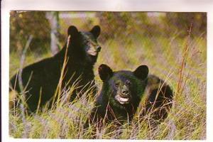 Two Native Black Bears, Great Smoky Mountains National Park, WM Cline