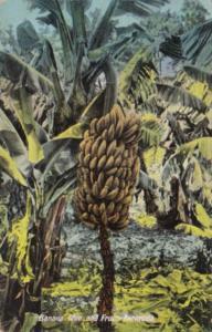 Bermuda Bermudian Typical Banana Tree & Fruit
