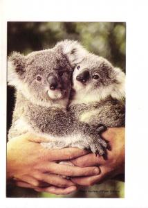 Koala and Cub, Their Future is in Our Hands, Adopt, Australia
