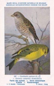 The Eurasian Siskin Carduelis Spinus WW2 Bird Vintage Rare Postcard