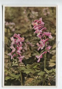 428077 Flower Corydalis cava Vintage Sammelwerk Tobacco Card w/ ADVERTISING