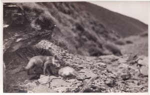 Baby Hunting Fox Antique Real Photo Postcard