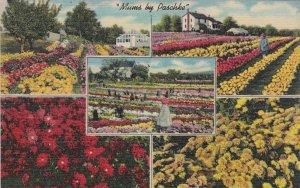 Pennsylvania North-East Mums By Paschke Flowers Nursery Curteich sk5877