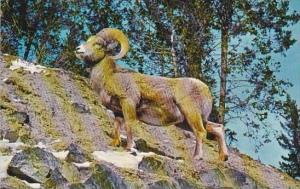 Colorado Montana Rocky Mountain Big Horn Sheep