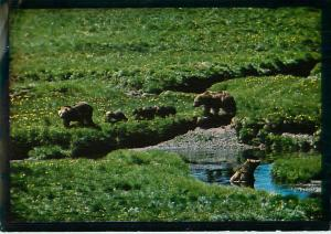 Grizzly Bear Family and 4 Cubs Rocky Mountains Washington   Postcard  # 6668