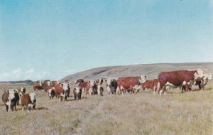 Cattle, Hereford Cows, Canadian Hereford Association, Calgary, Alberta, Canad...
