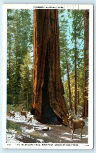 YOSEMITE NATIONAL PARK, CA ~  The TELESCOPE TREE Mariposa Grove 1929 Postcard