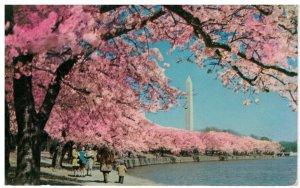 Postcard - Washington Monument & Cherry Blossoms, Washington DC