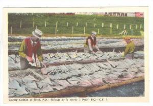 Curing Codfish At Perce, Quebec, Canada, 1930-1940s