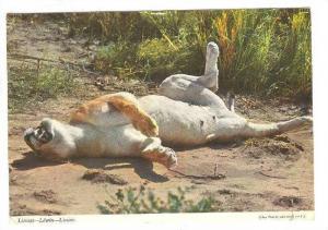 Lioness, Kenya, PU-1972