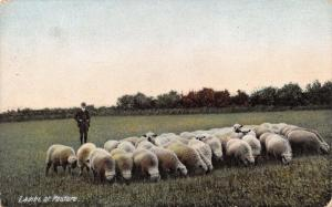 Vintage Postcard Lambs at Pasture #L