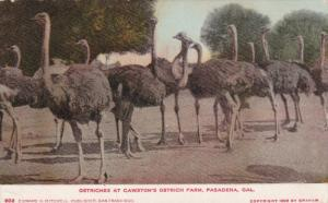 PASADENA, California, PU-1910; Ostrices At Cawston's Ostrich Farm